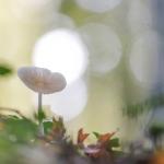 Oudemansiella radicata