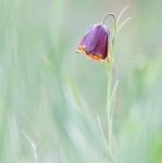 Fritillaria nigra
