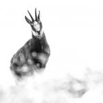 Rupicapra rupicapra