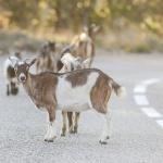 Chèvres errantes