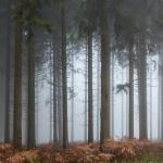 Brouillard et résineux...